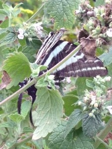 Zebra Swallowtail on the Maryland Heights Trail, photo by CGIOS
